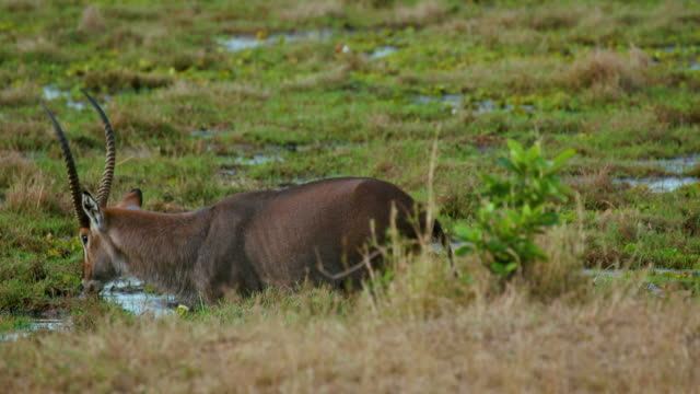 Male Waterbuck Grazing Maasai Mara  Kenya  Africa