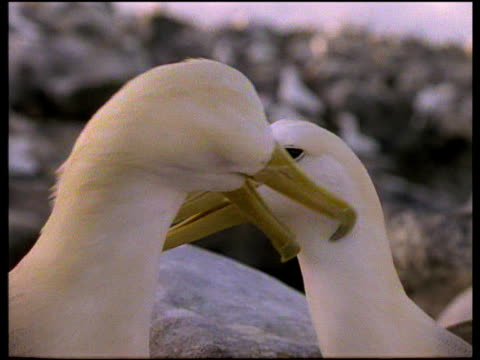 male waved albatross preens female on beach at dusk, galapagos - couple relationship stock videos & royalty-free footage