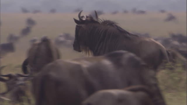 Male white bearded wildebeest runs through herd Available in HD.