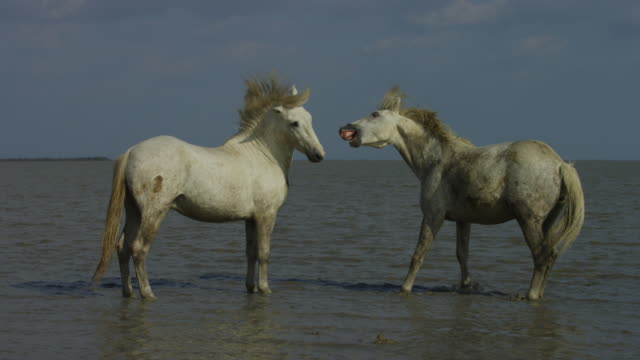 MS 2 male white Camargue horses nuzzling and posturing in shallow sea