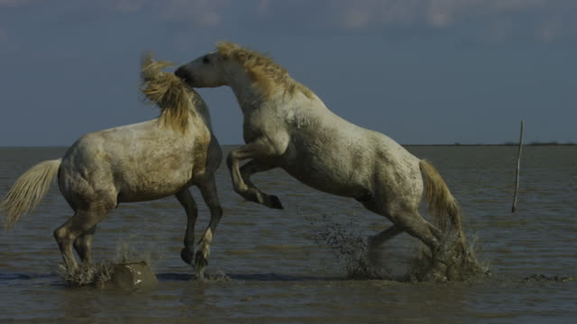MS 2 male white Camargue horses nuzzling then fighting in shallow sea