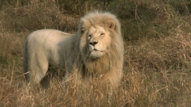 male white lion prowling on african savannah - lion stock videos & royalty-free footage