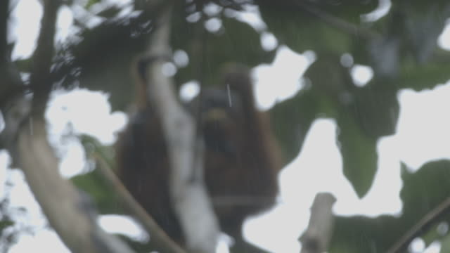 stockvideo's en b-roll-footage met male wild orangutan - infaden
