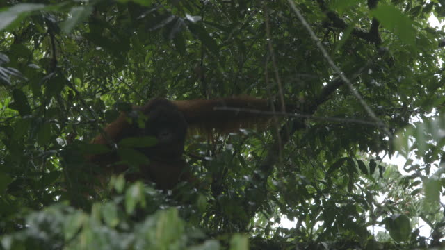 male wild orangutan - male animal stock videos & royalty-free footage