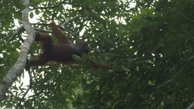 male wild orangutan - male animal stock videos & royalty-free footage