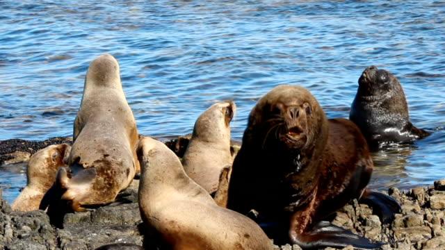 Male Wild Sea Lion with females on shore. (Otaria flavescens)