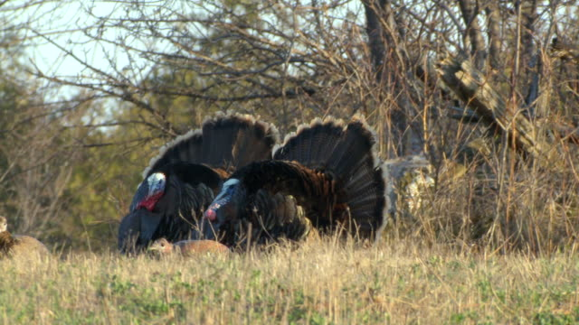 MS PAN Male wild turkey displaying wings with female turkey / Madoc, Ontaria, Canada