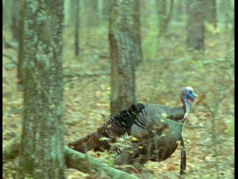 Male wild turkey walks and displays in woods, USA