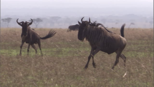Male wildebeest run and fight on savannah Available in HD.