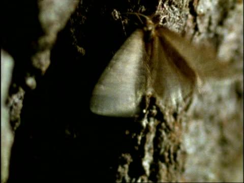 MCU Male Winter Moth (Operophtera brumata) flutters and mounts wingless female, at night, UK