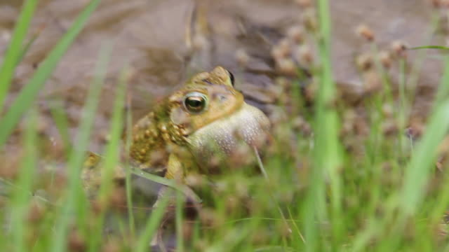 male wood frog calls for a female - two animals stock videos & royalty-free footage