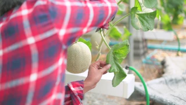男性労働者は、剪定ばさみでメロン植物の葉を切る - 園芸学点の映像素材/bロール