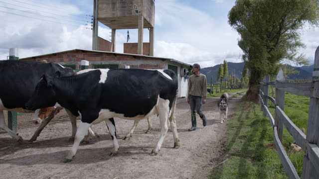 male young farmer and his dog herding the cows to the pen to get milked - brown stock videos & royalty-free footage