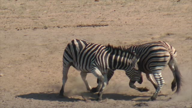 male zebra fighting - fight stock videos & royalty-free footage