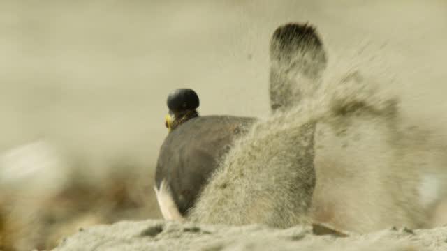 vidéos et rushes de maleo digs hole on beach, sulawesi. - nid d'oiseau