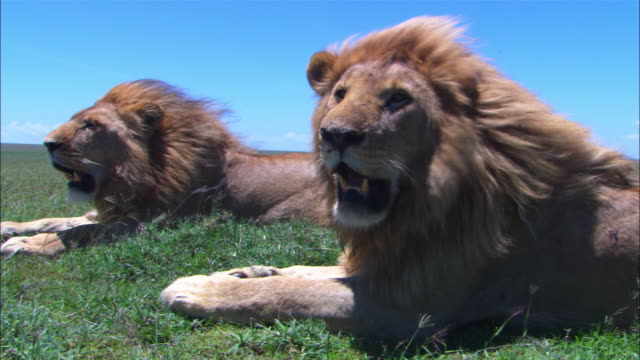 2 males African lions sitting together with wind blowing through their manes