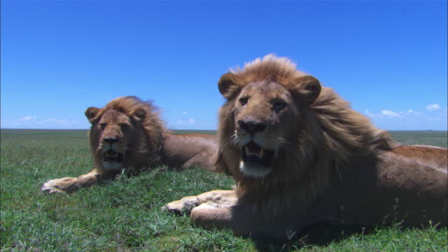 2 males African lions sitting together with wind blowing through their manes as foreground male looks out of frame