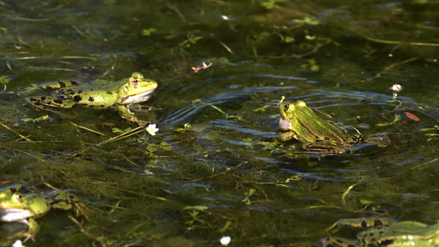ms slo mo males edible frogs leaping and calling with inflated vocal sacs / vieux pont, normandy,  france - frog stock videos and b-roll footage