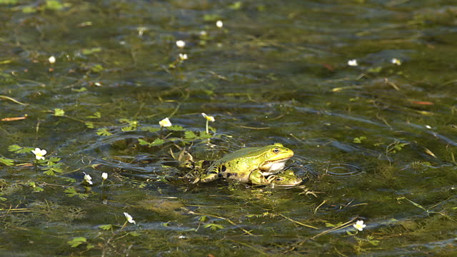 ms slo mo males edible frogs leaping and calling with inflated vocal sacs / vieux pont, normandy,  france - pond stock videos & royalty-free footage