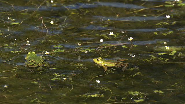 MS SLO MO Males edible frogs leaping and calling with inflated vocal sacs / Vieux Pont, Normandy,  France