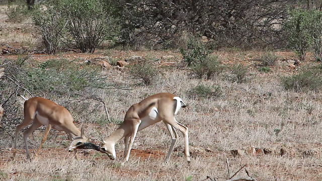 ms pan males gazelle fighting with each other / national park, africa, kenya - herbivorous stock videos and b-roll footage