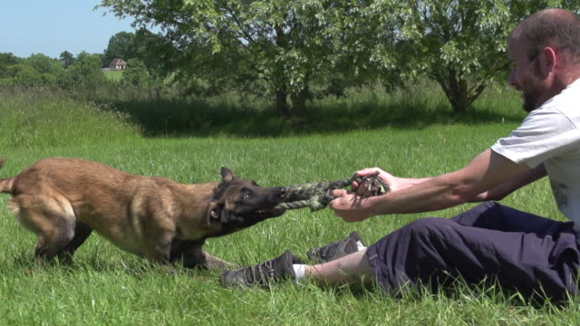 "stockvideo's en b-roll-footage met ""malinois or belgian shepherd dog, female playing with master, normandy, slow motion"" - alleen één mid volwassen man"