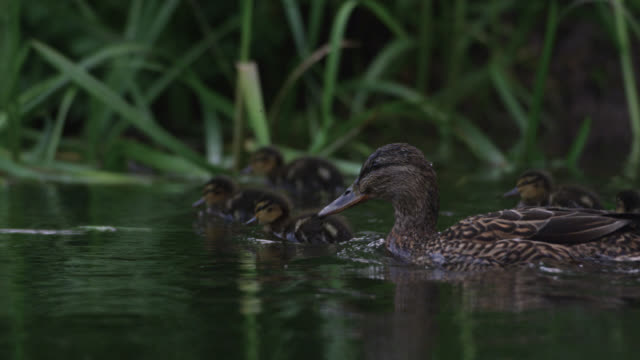 Mallard (Anas platyrhynchos) and ducklings forage on river, Wiltshire, England