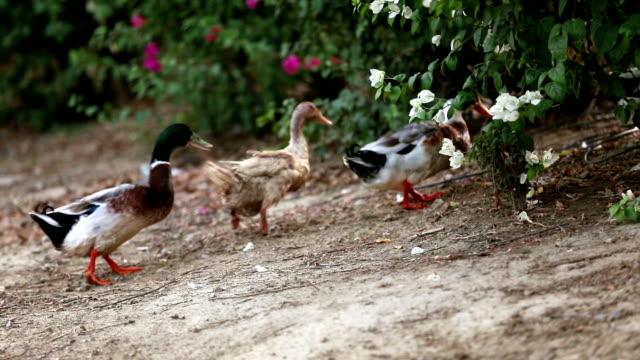 vídeos de stock, filmes e b-roll de pássaro de pato-real na natureza - pet clothing