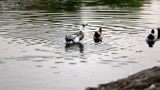 mallard bird in water - water bird stock videos & royalty-free footage