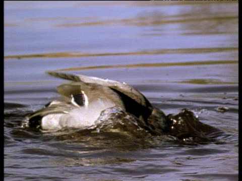mallard drake bathes in lake, water off a duck's back, uk - duck stock videos and b-roll footage