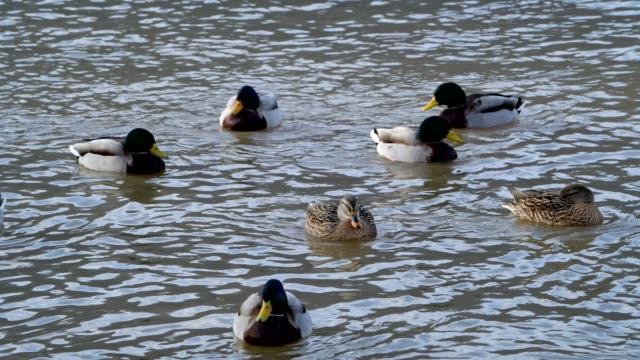 mallard duck, anas platyrhynchos, group of birds, miltenberg, bavaria, germany - mallard stock videos and b-roll footage