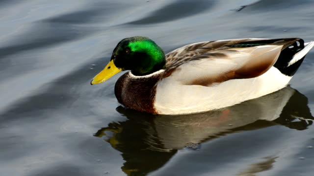 mallard duck-  anas platyrhynchos - mallard stock videos and b-roll footage