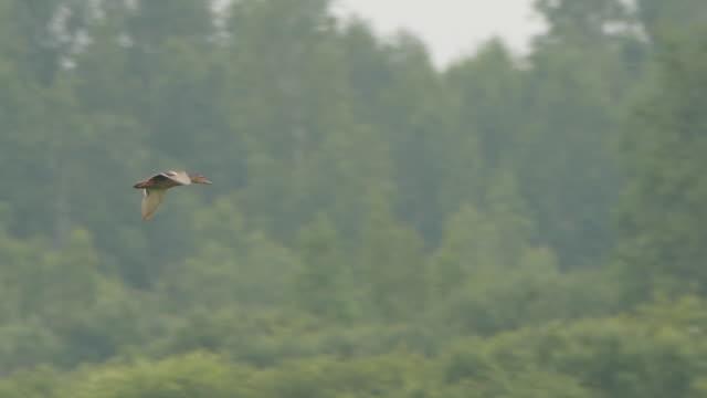 森の中のマラードダックと霧 - キンガン自然保護区 - 鳥 カモ点の映像素材/bロール