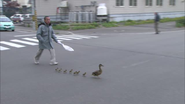 mallard duck and her ducklings in obihiro, hokkaido - ente wasservogel stock-videos und b-roll-filmmaterial