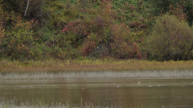 mallard ente (anas platyrhynchos) - gefangen in altai zustand naturschutzgebiet - tier in gefangenschaft stock-videos und b-roll-filmmaterial