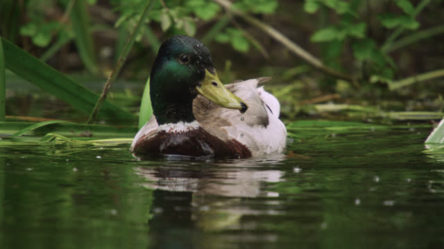 mallard (anas platyrhynchos) duck dabbles on river, wiltshire, england - anatra uccello acquatico video stock e b–roll