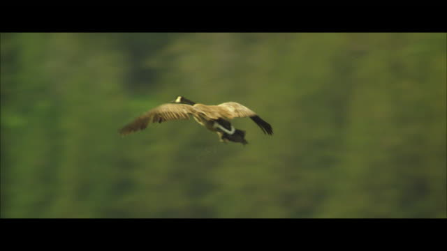 stockvideo's en b-roll-footage met ms ts mallard duck flies and lands next to another duck - eend watervogel