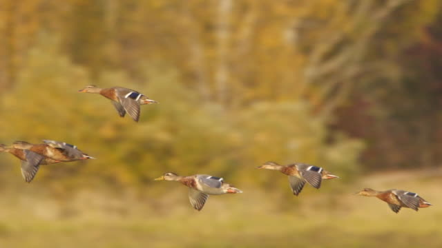 mallard duck (anas platyrhynchos) flying in slow motion - captured in altai state nature reserve - duck bird stock videos & royalty-free footage