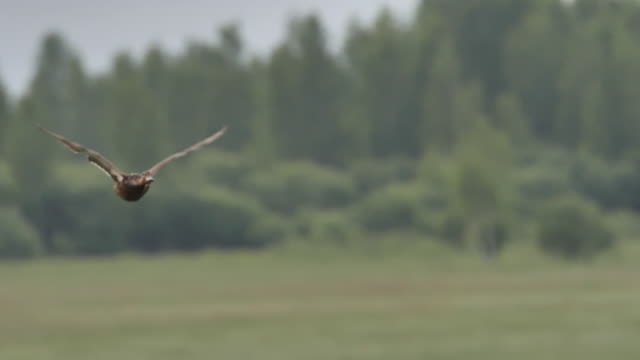 stockvideo's en b-roll-footage met wilde eend (anas platyrhynchos) - khingan reserve, rusland - eend watervogel