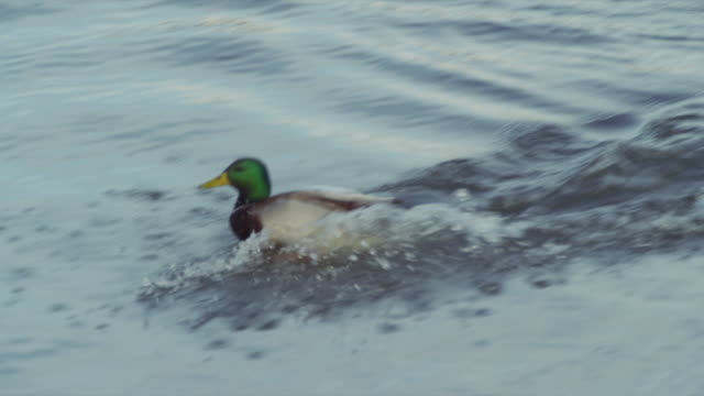 mallard duck lands in blue pond directly in front of camera. - mallard stock videos and b-roll footage