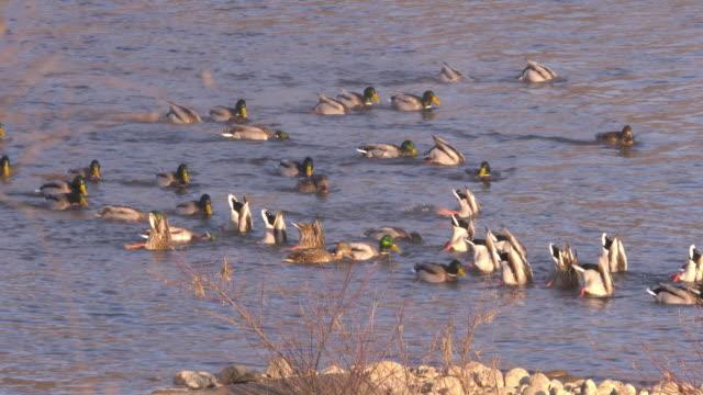 mallard duck on namhangang river / eomjeong-myeon, chungju-si, chungcheongbuk-do, south korea - flock of birds stock videos & royalty-free footage
