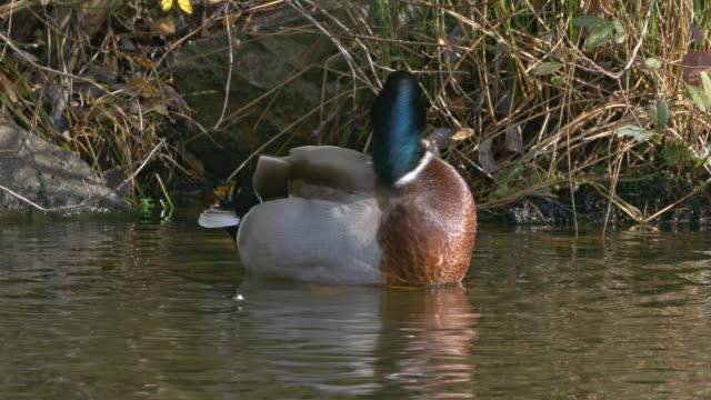 vidéos et rushes de mallard duck - vincent pommeyrol