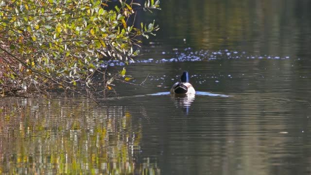 mallard duck - auvergne rhône alpes stock videos & royalty-free footage