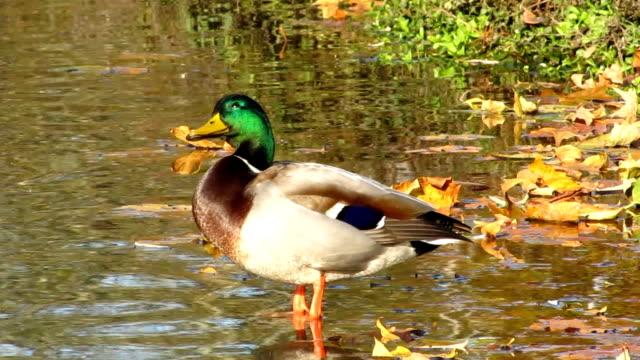 stockvideo's en b-roll-footage met mallard duck - vogeljacht