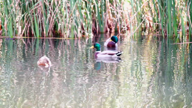 mallard duck - bulrush stock videos & royalty-free footage