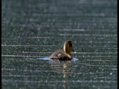 mallard duckling swims on lake, central park, new york city - duck stock videos and b-roll footage