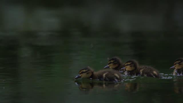 Mallard (Anas platyrhynchos) ducklings forage on river, Wiltshire, England
