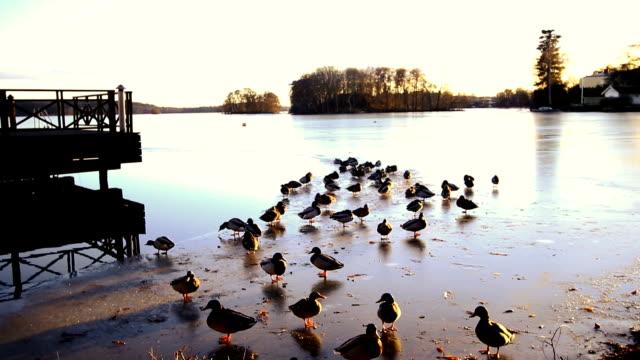 mallard ducks and frozen lake - bird stock videos & royalty-free footage