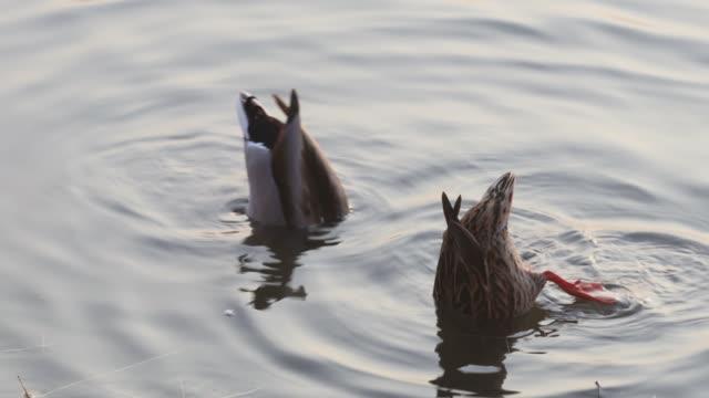 stockvideo's en b-roll-footage met mallard eenden in het water te eten - eend watervogel