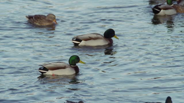 mallard ducks swim in clear blue water. - mallard stock videos and b-roll footage